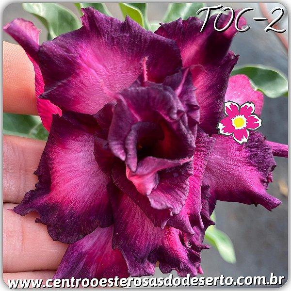 Rosa do Deserto Muda de Enxerto - TOC-2 - Flor Tripla