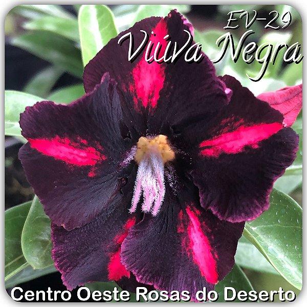 Rosa do Deserto Muda de Enxerto - Viúva Negra - Flor Simples - Cuia 21 (com 2 a 3 enxertos)