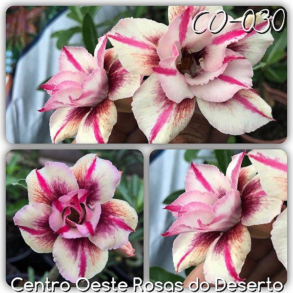 Rosa do Deserto Enxerto - CO-030