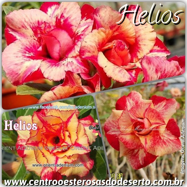 Rosa do Deserto Muda de Enxerto - Helios - Flor Tripla