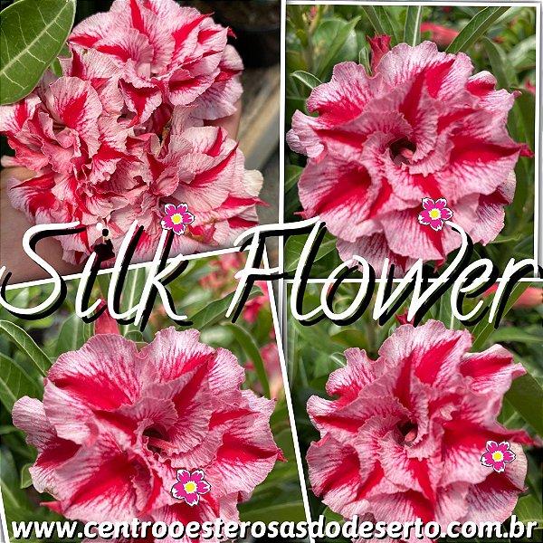 Rosa do Deserto Muda de Enxerto - Silk Flower - Flor Tripla