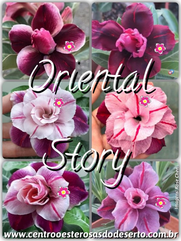 Rosa do Deserto Muda de Enxerto - Oriental Story