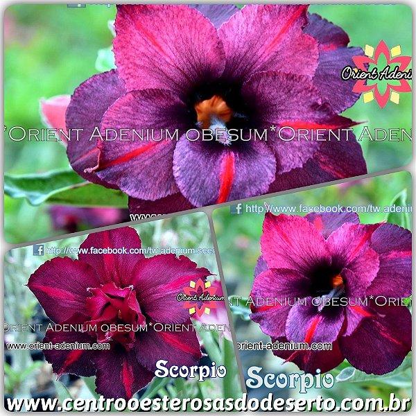 Rosa do Deserto Muda de Enxerto - Scorpio - Flor Dobrada