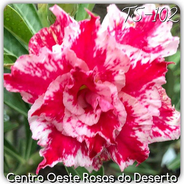 Rosa do Deserto Muda de Enxerto - TS-102 - Flor Tripla