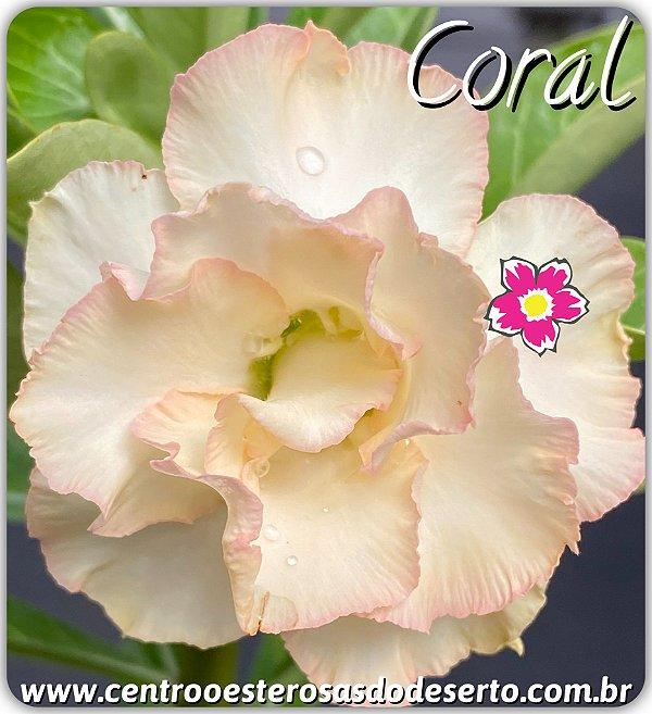 Rosa do Deserto Enxerto - Coral
