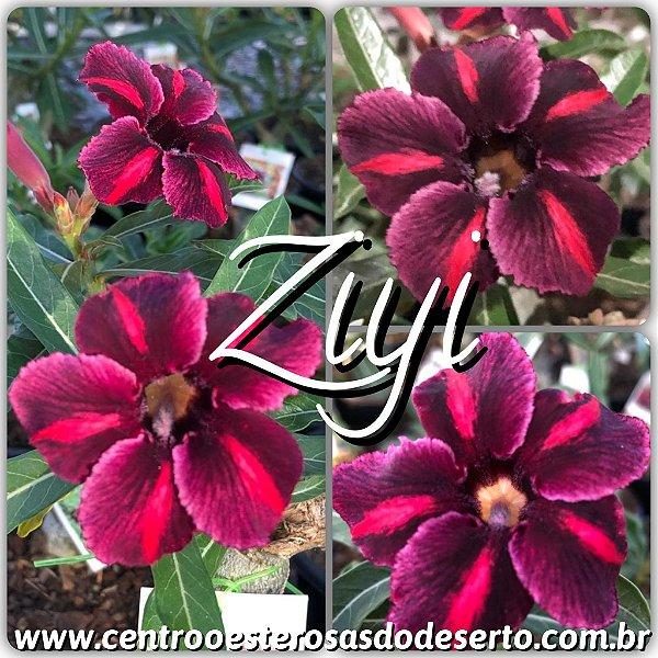 Rosa do Deserto Muda de Enxerto - Ziyi - Flor Simples - Cuia 21 (2 a 3 Enxertos)
