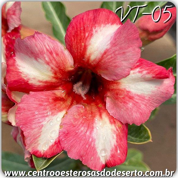 Rosa do Deserto Muda de Enxerto - VT-05 - Flor Simples