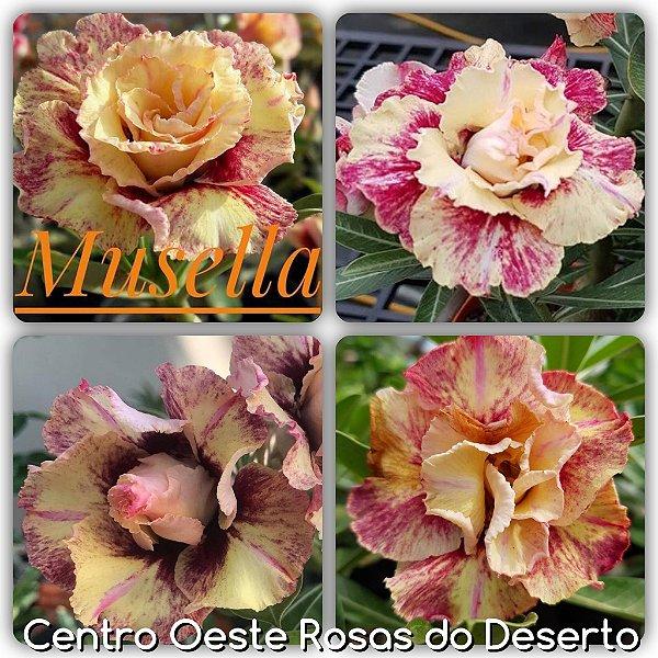 Rosa do Deserto Enxerto - Musella (RC001)