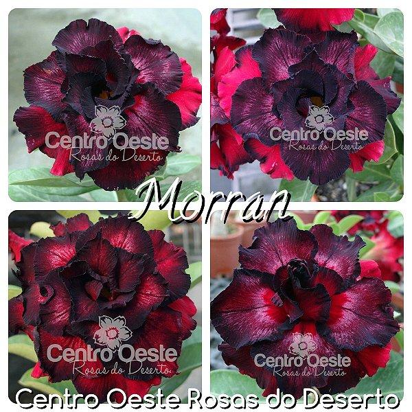 Rosa do Deserto Muda de Enxerto - Moran - Flor Tripla