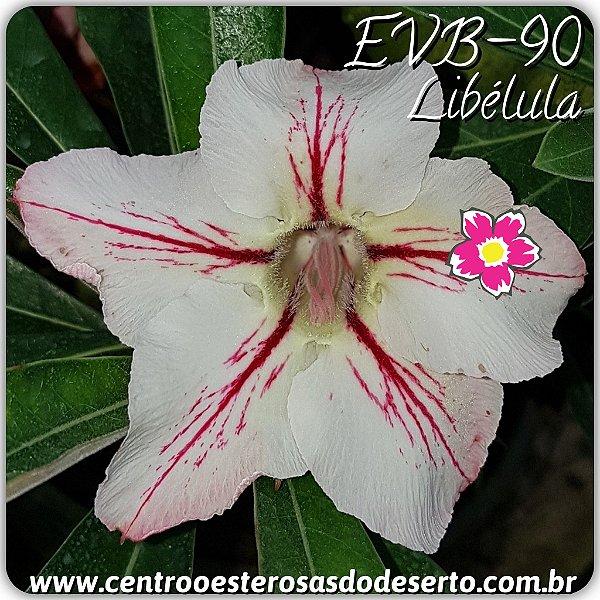 Rosa do Deserto Muda de Enxerto - EVB-090 - Libélula - Flor Simples