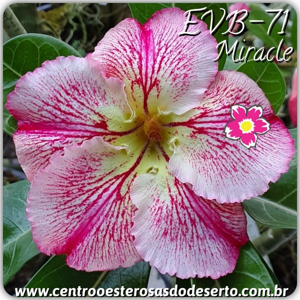 Rosa do Deserto Muda de Enxerto - EVB-071 - Miracle - Flor Simples