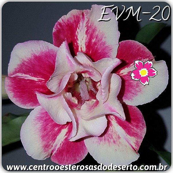 Rosa do Deserto Muda de Enxerto - EVM-020 - Flor Dobrada