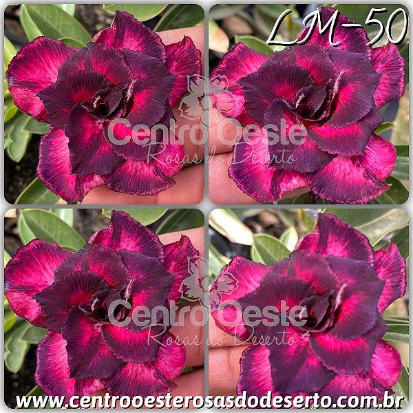Rosa do Deserto Muda de Enxerto - LM-50 - Flor Tripla