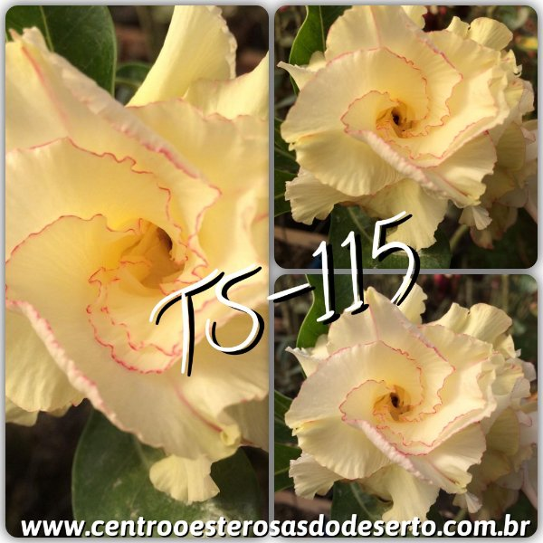 Rosa do Deserto Muda de Enxerto - TS-115 - Flor Tripla