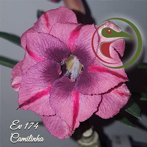 Rosa do Deserto Muda de Enxerto - EV-174 - Camilinha - Flor Dobrada