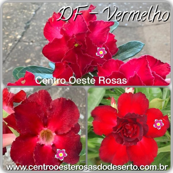 Rosa do Deserto Muda de Enxerto - DF Vermelho - Flor Dobrada - Cuia 21 com dois enxertos