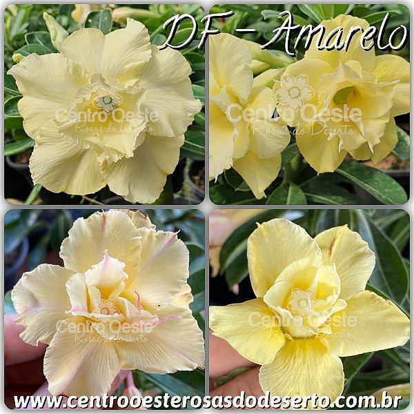 Rosa do Deserto Muda de Enxerto - DF Amarela - Cuia 21