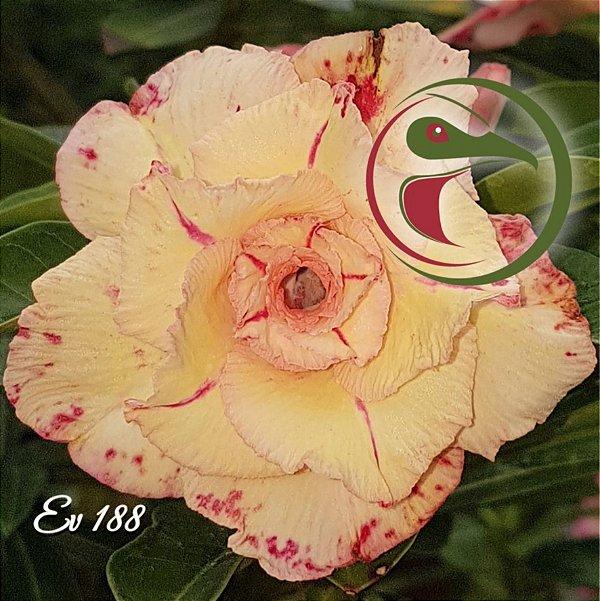 Rosa do Deserto Muda de Enxerto - EV-188 - Flor Tripla