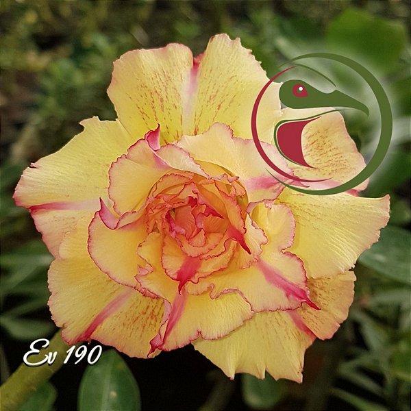 Rosa do Deserto Muda de Enxerto - EV-190 - Flor Tripla