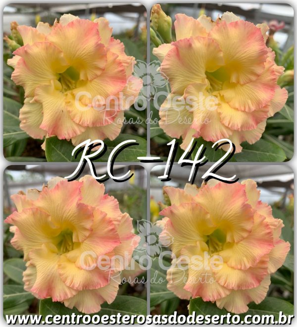 Rosa do Deserto Muda de Enxerto - RC-142 - Flor Tripla