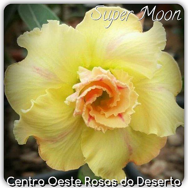 Rosa do Deserto Muda de Enxerto - Supermoon - Flor Dobrada Amarelo - Cuia 21 (2 a 3 enxertos)