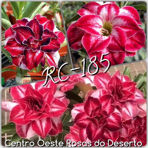 Rosa do Deserto Enxerto - Black Amaryllis (RC-185) - Cuia 21