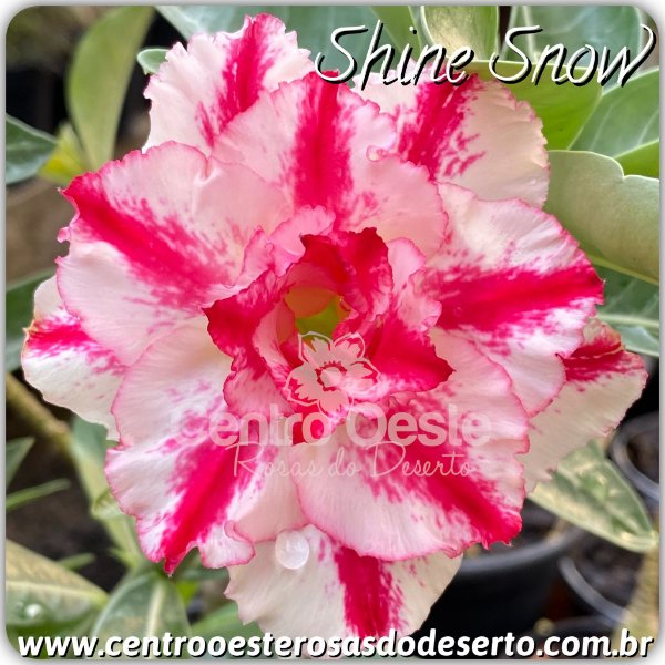 Rosa do Deserto Muda de Enxerto - Shine Snow - Flor Tripla