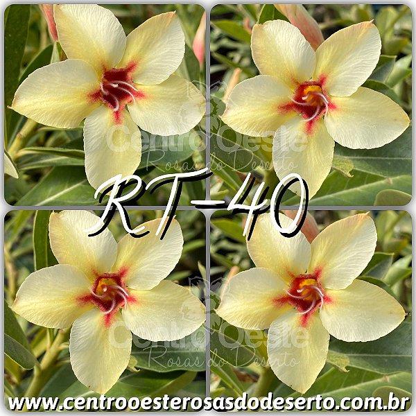 Rosa do Deserto Muda de Enxerto - RT-40 - Flor Simples
