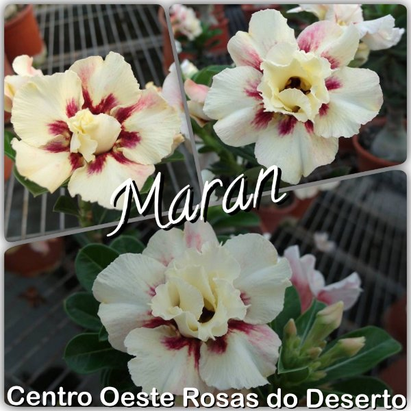 Rosa do Deserto Muda de Enxerto - Maran - Flor Dobrada - Cuia 21 (3 enxertos)