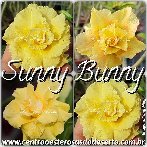 Rosa do Deserto Muda de Enxerto - Sunny Bunny - Flor Tripla - Cuia 21 (2 Enxertos)