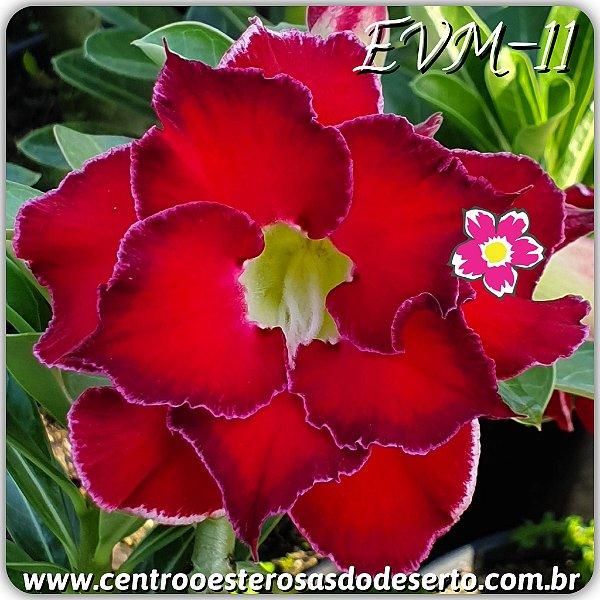 Rosa do Deserto Muda de Enxerto - EVM-011 - Flor Dobrada