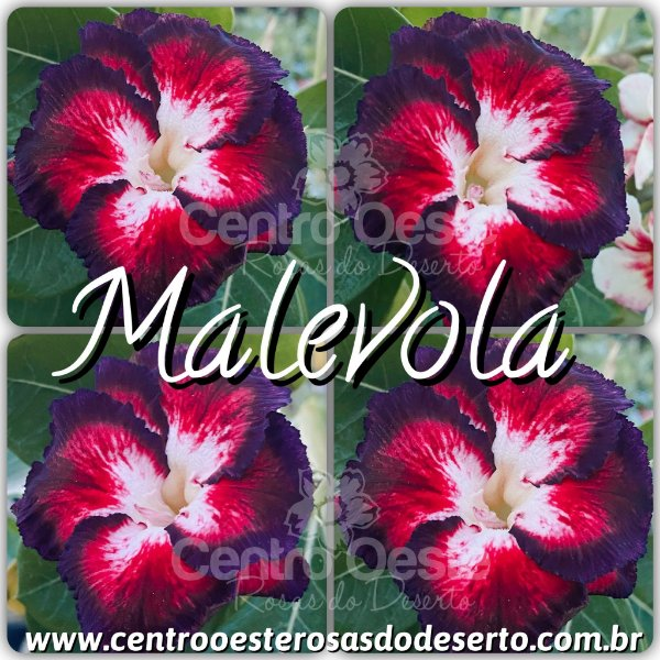 Rosa do Deserto Muda de Enxerto - Malevola - Flor Dobrada