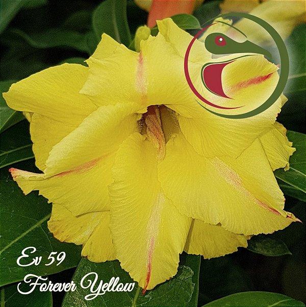 Rosa do Deserto Muda de Enxerto - EV-059 - Forever Yellow - Flor Dobrada