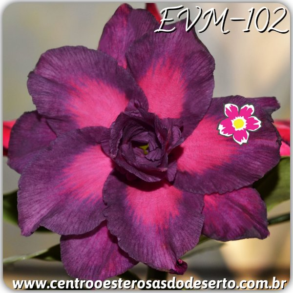 Rosa do Deserto Muda de Enxerto - EVM-102 - Flor Dobrada