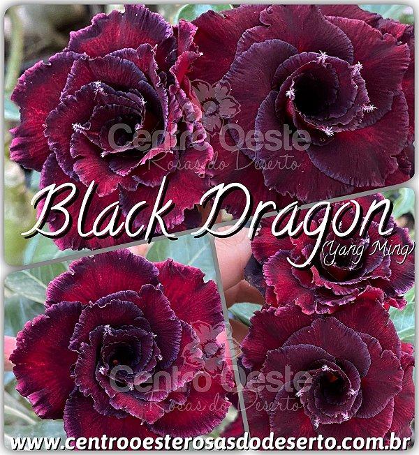 Rosa do Deserto Enxerto - BLACK DRAGON
