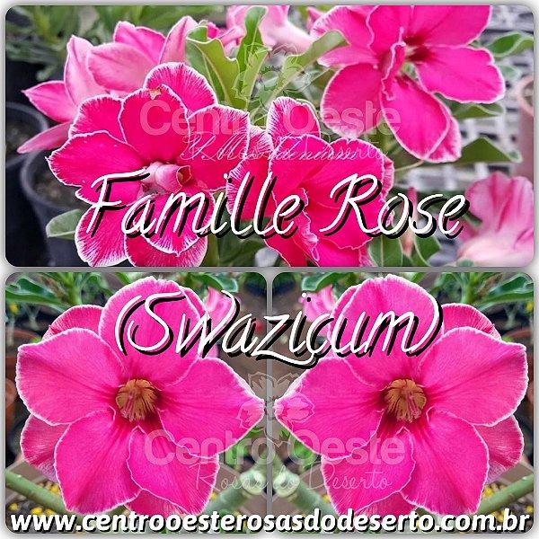 Rosa do Deserto Muda de Enxerto - Famille Rose - Flor Dobrada Swazicum