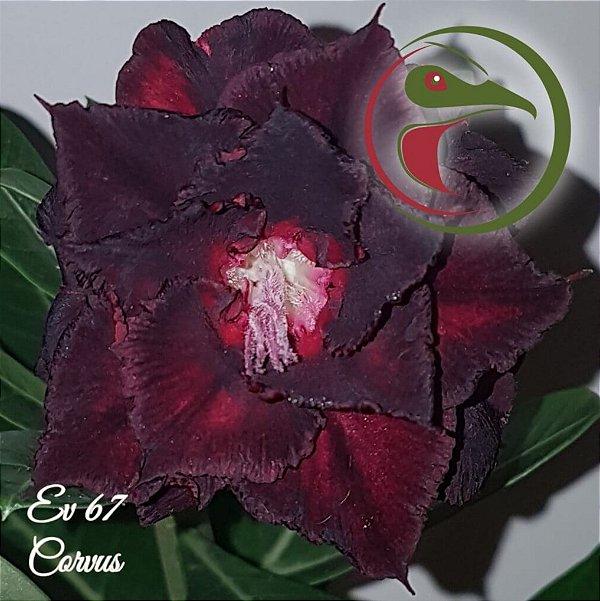 Rosa do Deserto Muda de Enxerto - EV-067 - Corvus - Flor Tripla