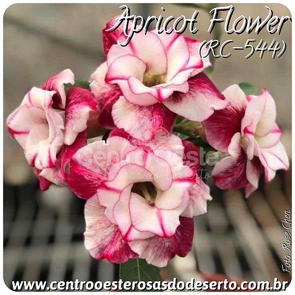 Rosa do Deserto Muda de Enxerto - Apricot Flower (RC544) - Flor Dobrada