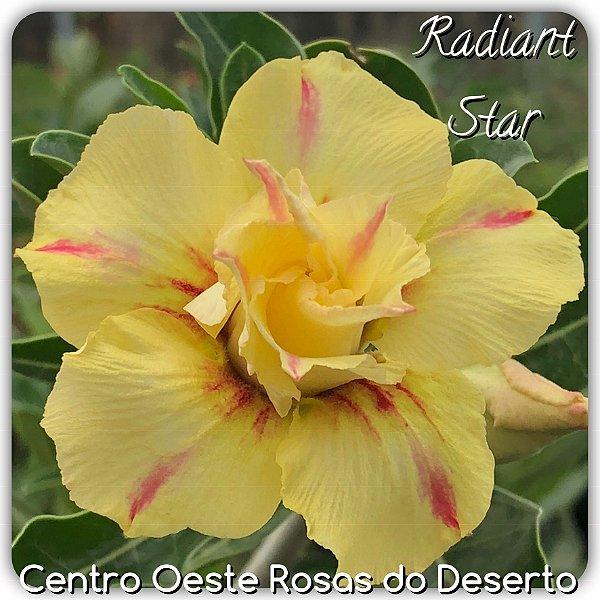 Rosa do Deserto Muda de Enxerto - Radiant Star - Flor Dobrada