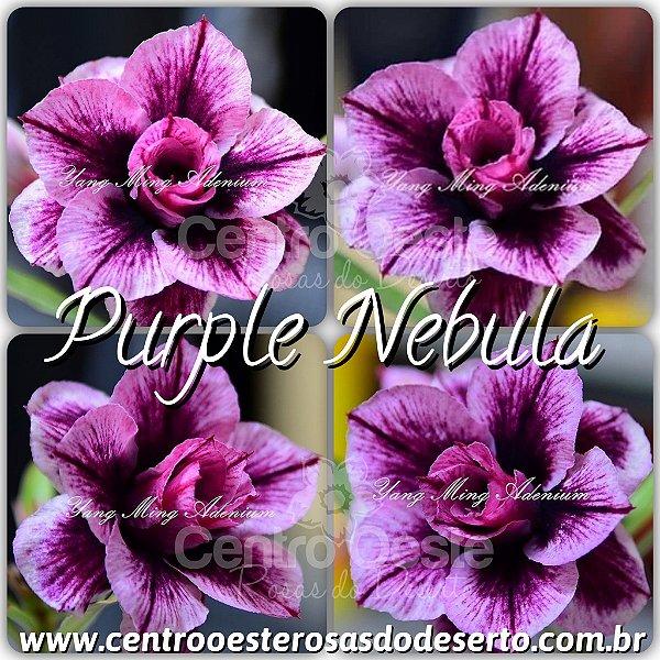 Rosa do Deserto Muda de Enxerto Purple Nebula - Flor Tripla