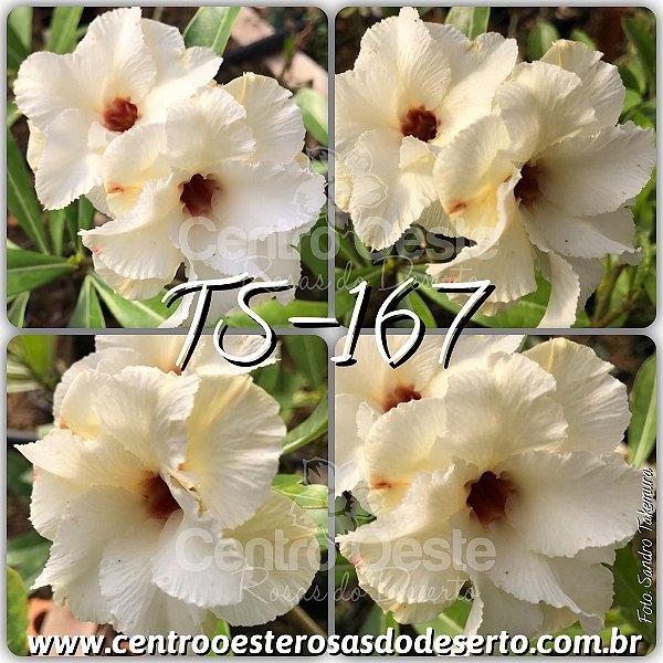 Rosa do Deserto Muda de Enxerto - TS-167 - Flor Dobrada