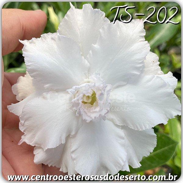 Rosa do Deserto Muda de Enxerto - TS-202 - Flor Tripla