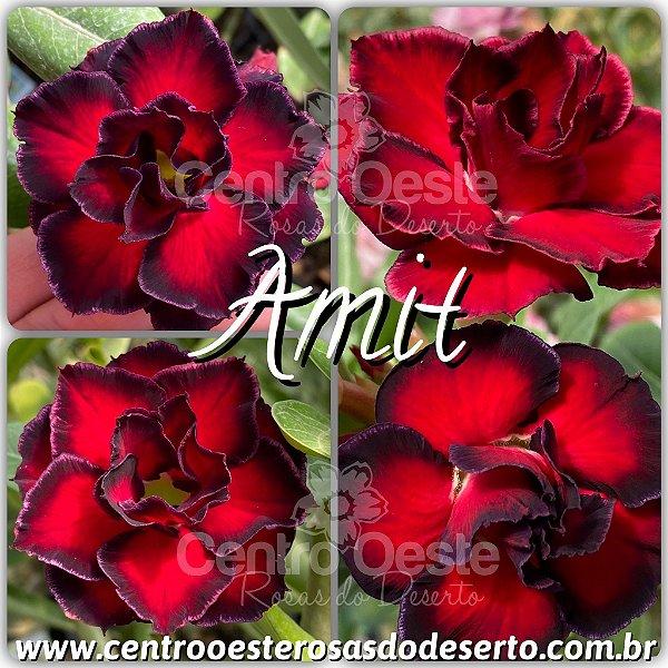 Rosa do Deserto Enxerto - Amit (RC075)