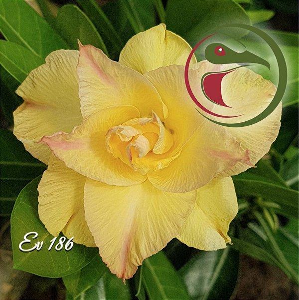 Rosa do Deserto Muda de Enxerto - EV-186 Flor Dobrada