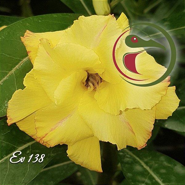 Rosa do Deserto Muda de Enxerto - EV-138 Flor Dobrada