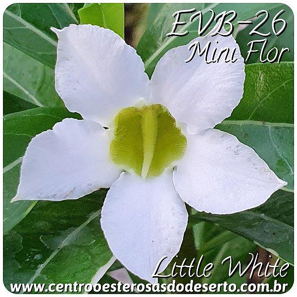 Rosa do Deserto Muda de Enxerto - EVB-026 Little White