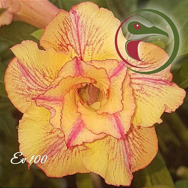 Rosa do Deserto Muda de Enxerto - EV-100 - Flor Dobrada