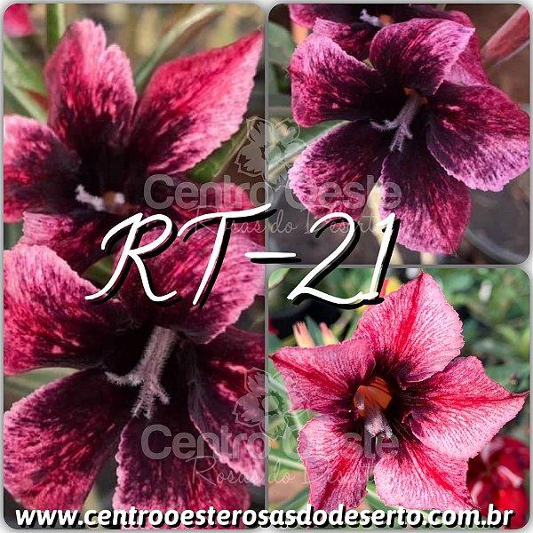 Rosa do Deserto Muda de Enxerto - RT-21 - Flor Simples