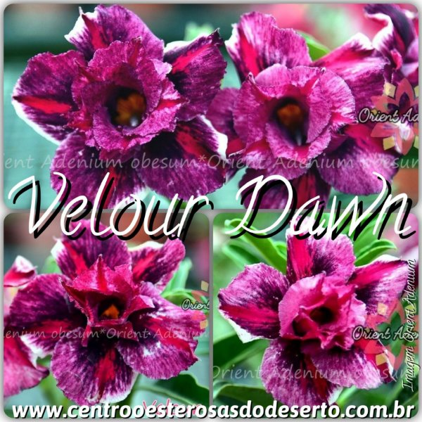 Rosa do Deserto Muda de Enxerto - Velour Dawn - Flor Dobrada