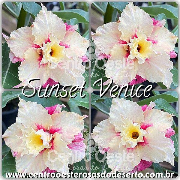 Rosa do Deserto Muda de Enxerto - Sunset Venice
